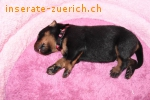 Zwinger Secret of Black Angels vergibt Welpen Beauceron